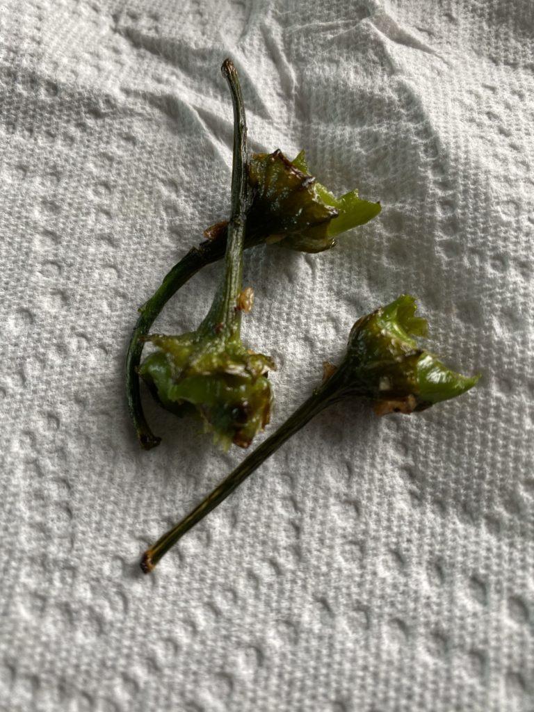 stems of eaten shishito peppers