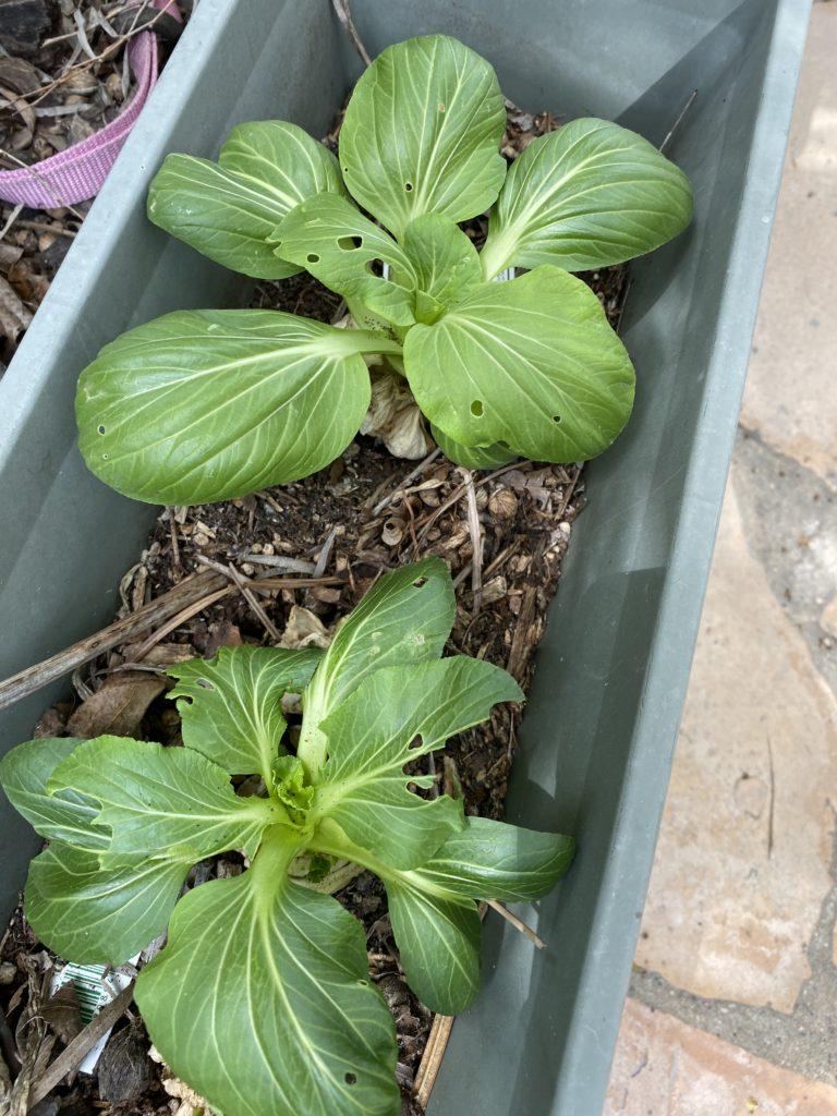bok choy growing in a pot